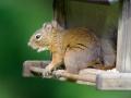 Red Squirrel (Tamiasciurus hudsonicus) on bird seed feeder, Gabriola , British Columbia, Canada