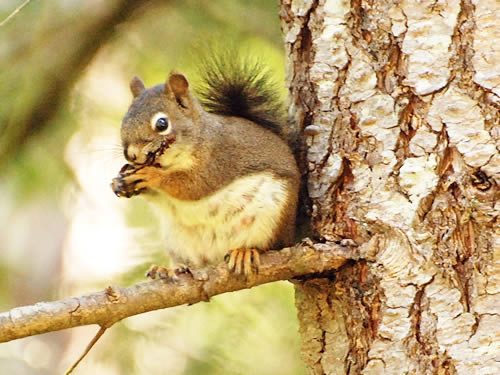 red-squirrel21