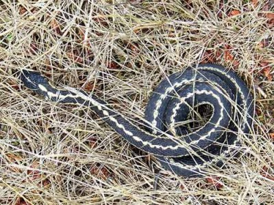 Snake Coiled in Dry, Matted Grass