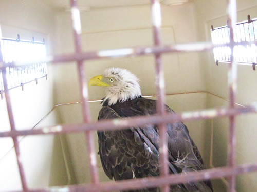 animal-rescue-caged-eagle