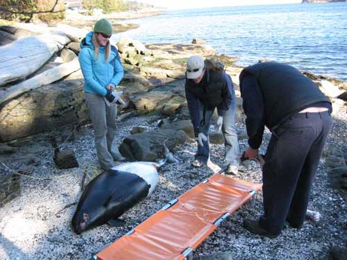 animal-rescue-dalls-porpoise