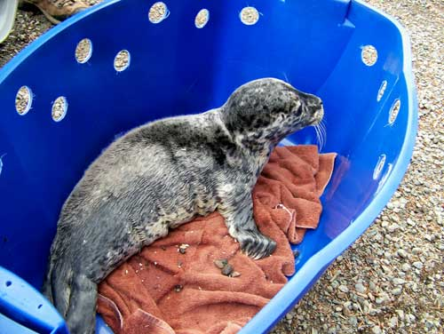 animal-rescue-seal-pup