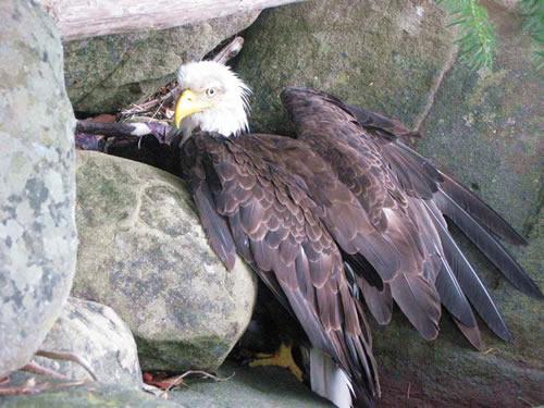 animal-rescue-sick-eagle