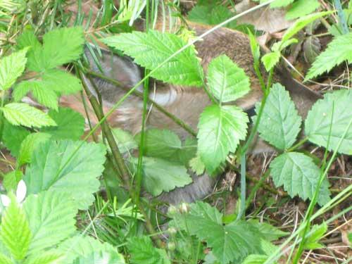 wildlife-fawn-hiding-in-grass