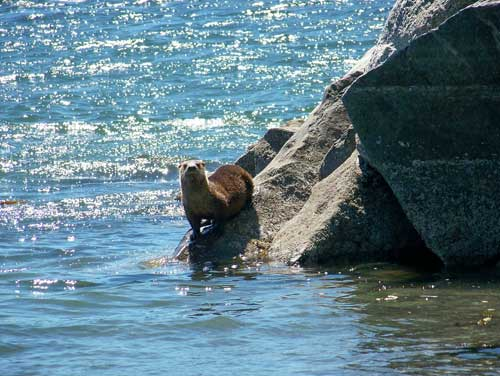 wildlife-otter-on-rocks