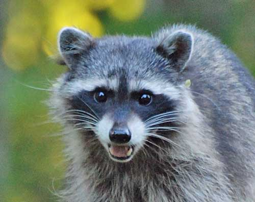 wildlife-racoon-caught-me