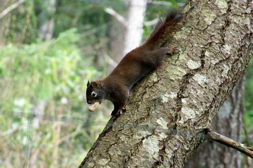 wildlife-red-squirrel