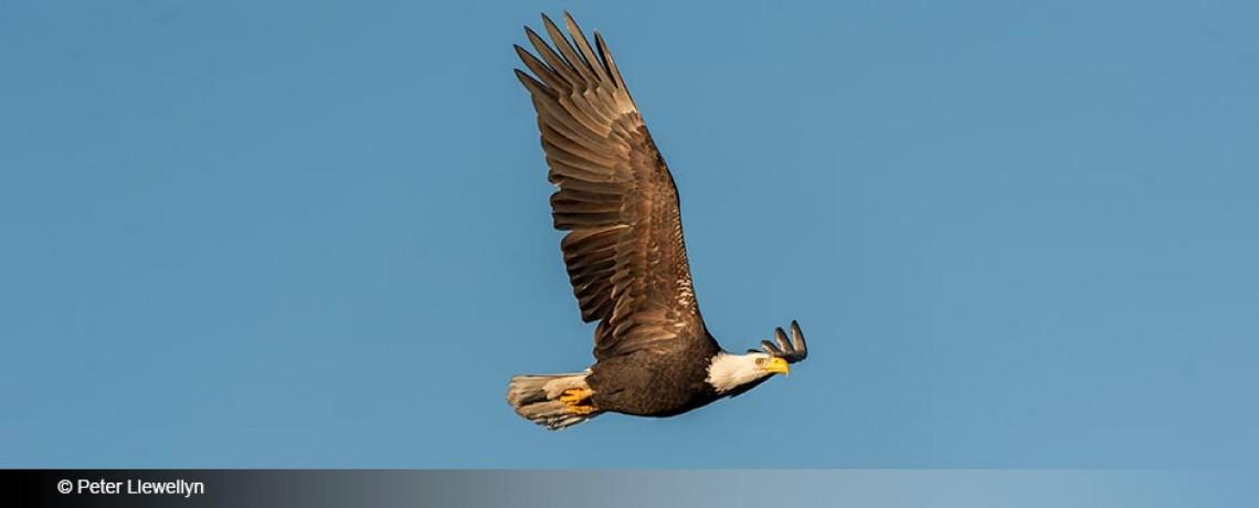 Bald Eagle (Haliaeetus leucocephalus) in flight, Gabriola Island, BC, Canada