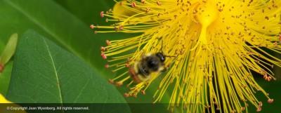 bumble-bee-jean-wyenberg