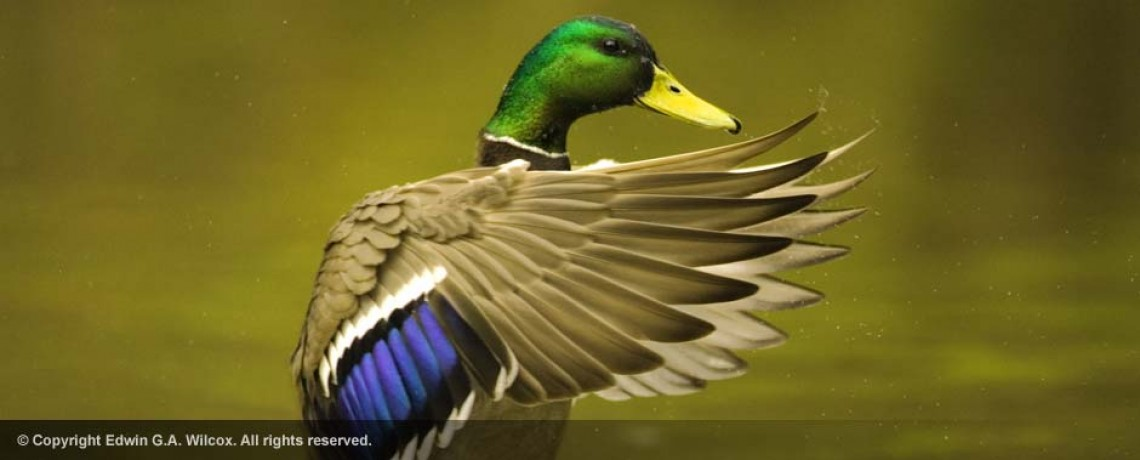 male_mallard_duck