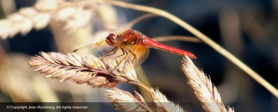 red-dragonfly-jean-wyenberg