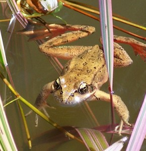 The Red-Legged Frog
