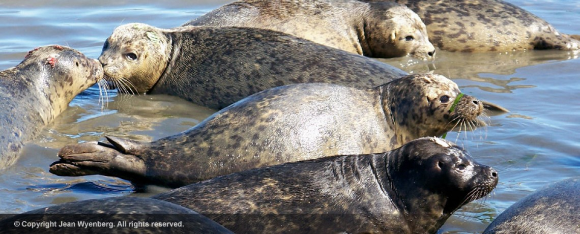 seal-pups-jean-wyenberg