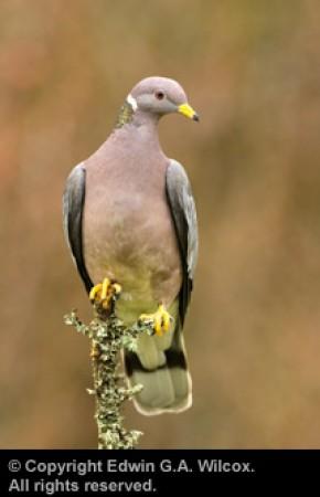 wilcox-dove-01