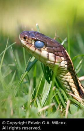 wilcox-garter-snake