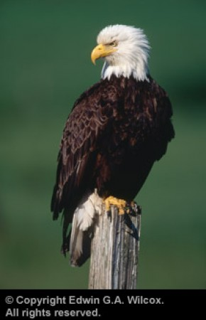 wilcoxbald-eagle-stump-01